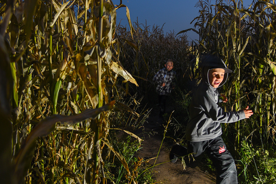 Corn Craze: Two buddies race through a dark section of a corn maze at Flashlight Nights at the Calgary Corn Maze Fun Farm just East of Calgary on Friday, Sept. 25, 2015. (Photo by Victoria Vadeboncoeur/The Press)