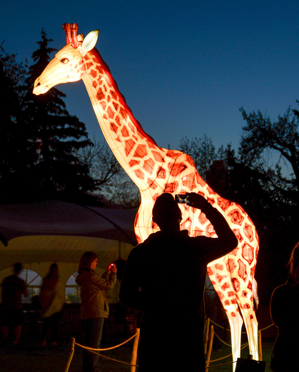 Big Giraffe: A guest takes a photo of one of the 200 pound giraffe lanterns during the Calgary Zoo's Illuminasia event on Thursday, Sept. 17, 2015. The event features over 300 wire and mesh lanterns that will be on display through November 1st. (Photo by Kelsey Yates/The Press)