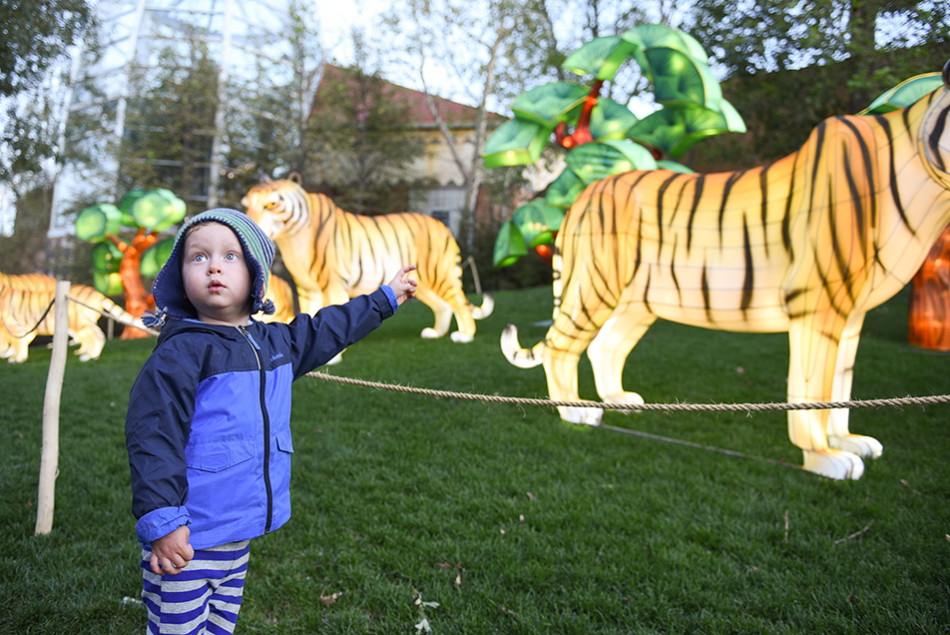 Big Tigers: A woman observes the flamingo lanterns during the Calgary Zoo's Illuminasia event on Thursday, Sept. 17, 2015. The event features over 300 wire and mesh lanterns that will be on display through November 1st. (Photo by Tyler Marr/The Press)