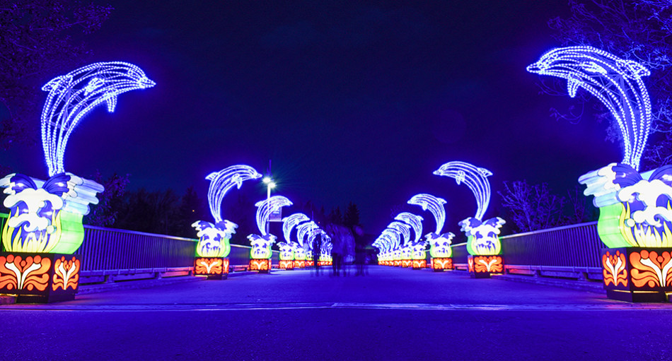 Brilliant Lanterns: Dolphin lanterns illuminate a bridge during the Calgary Zoo's Illuminasia event Thursday, Sept. 17, 2015. The event features over 300 wire and mesh lanterns that will be on display through November 1st. (Photo by Tyler Marr/The Press)
